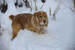 Spaniel dourado na caça do inverno na neve 2018 fotografia de stock royalty free