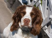 Spaniel English Springer dog Royalty Free Stock Images