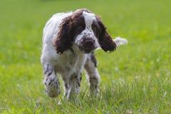 Spaniel för engelsk springer Royaltyfri Foto