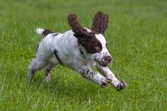 Spaniel för engelsk springer Royaltyfri Fotografi
