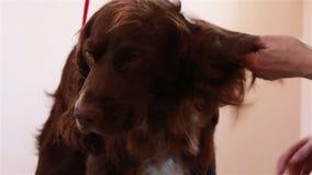 Spaniel för hårtork för Groomerhårkam och för torrt hår arkivfilmer