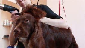 Spaniel för hårtork för Groomerhårkam och för torrt hår stock video
