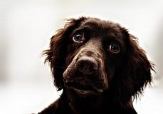 Spaniel för hög kontrast Fotografering för Bildbyråer