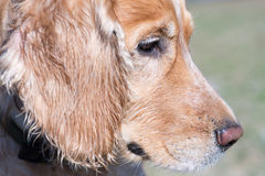spaniel för purebred för fokus för fält för cockerspanieldjupögon grund royaltyfri foto