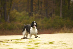 Spaniel fetching Royalty Free Stock Images