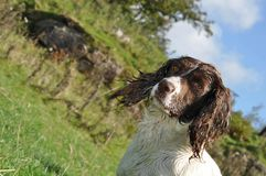 Spaniel in a field at a duck shoot Co Antrim N. Ireland 2017 with space for editors text copy. Spaniel in a field at a duck shoot Co. Antrim N. Ireland 2017 with royalty free stock photo