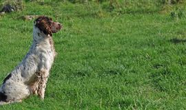 Spaniel in a field at a duck shoot Co Antrim N. Ireland 2017 with space for editors text copy. Spaniel in a field at a duck shoot Co. Antrim N. Ireland 2017 with stock images