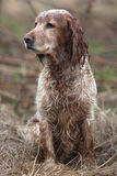 Spaniel on the field Stock Photography
