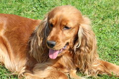 A spaniel. A golden spaniel dog in a garden Stock Images