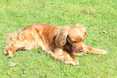 A spaniel. A golden spaniel dog in a garden Royalty Free Stock Photos