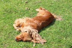 A spaniel. A golden spaniel dog lying in a garden Stock Image