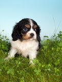 Spaniel in grass Stock Images