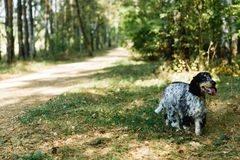Spaniel on green background royalty free stock image