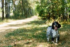 Spaniel on green background stock photo