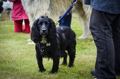 Spaniel with handler Stock Image