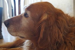 Spaniel, hond Stock Foto