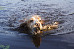 Spaniel - the hunting dog. The english cocker-spaniel submits the killed duck stock images