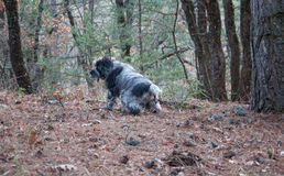 Spaniel hunting dog pees in the autumn forest. Spaniel hunting dog running in autumn forest in high quality Royalty Free Stock Photos