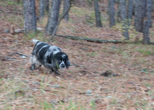 Spaniel hunting dog running in autumn forest Royalty Free Stock Images