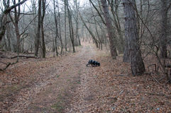 Spaniel hunting dog running in autumn forest. In high quality Royalty Free Stock Photo