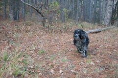 Spaniel hunting dog running in autumn forest. In high quality Royalty Free Stock Images