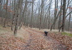 Spaniel hunting dog running in autumn forest. In high quality Royalty Free Stock Photos