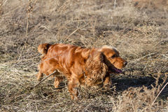 Spaniel in hunting Stock Photos