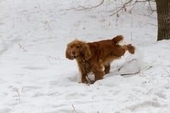 Spaniel i sn?n fotografering för bildbyråer