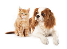 Spaniel and and kitten royalty free stock photo