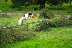 Spaniel leaping over fence stock image