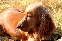 Spaniel looking away from camera Royalty Free Stock Image