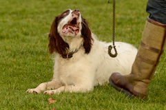 English springer spaniel dog looking at owner Royalty Free Stock Photo