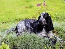 Spaniel lying in the pinks Stock Photography