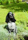 Spaniel lying in the pinks Stock Photo