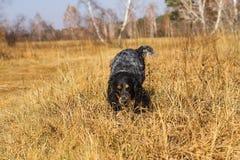 Spaniel manchado do russo que corre e que joga no gra amarelo do outono Imagens de Stock