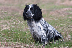 Spaniel on the meadow Stock Image