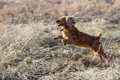 Spaniel in motion Royalty Free Stock Image