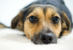 Spaniel Mutt Adoption Photo foto de stock royalty free