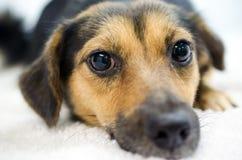 Spaniel Mutt Adoption Photo fotos de stock