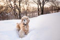 Spaniel na floresta nevado fotos de stock