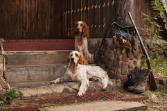 Spaniel och setter med jaktfågeln och ammunitionar Royaltyfri Bild