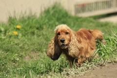 Spaniel Pees. Red spaniel stands in green grass lifting his paw and pees Stock Image