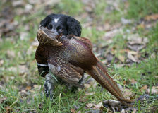 Spaniel with pheasant Royalty Free Stock Images