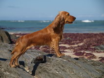 Spaniel Pose Royalty Free Stock Photo
