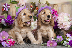 Spaniel puppies. English Cocker Spaniel puppies in a floral hat stock images