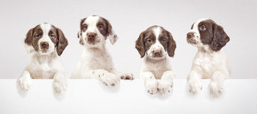 Spaniel puppies. A studio shot of four spaniel puppies royalty free stock image