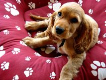 Spaniel Puppy Stock Image