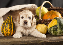 Spaniel puppy Royalty Free Stock Image