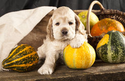 Spaniel puppy Royalty Free Stock Images