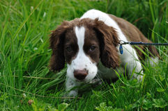 Spaniel Puppy Royalty Free Stock Photo